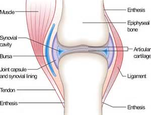 anotomy of knee joint picture 14