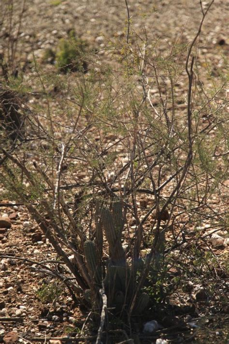 picture of hoodia plant picture 9