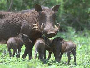 wart hogs picture 3