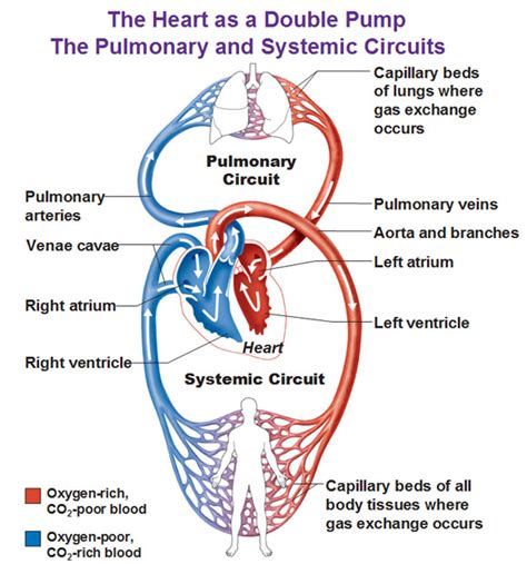 fl0w chart on the process of blood circulation picture 9