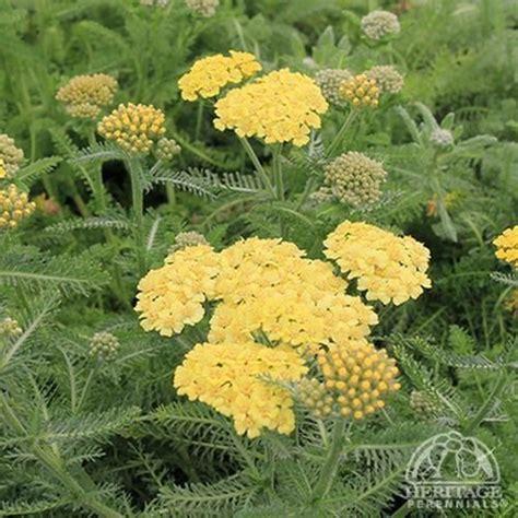 deadhead flowers yarrow picture 5
