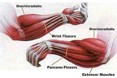 forearm muscle picture 1