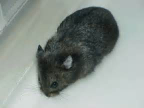 hamster black h picture 7