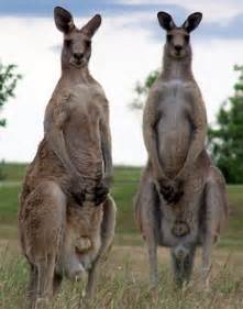 kangaroo essance tablets what do they do picture 1