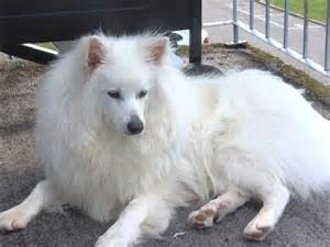 joint problems in american eskimo picture 18