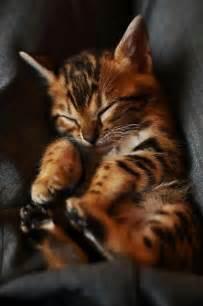 do cheetahs sleep picture 15