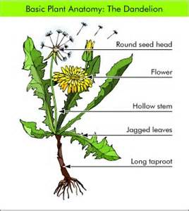 dandelion facts picture 14