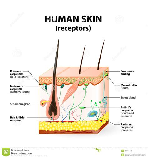 cross section of human skin picture 11