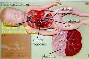 fetal blood and circulation picture 3