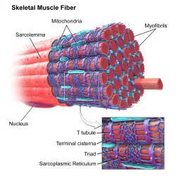 anatomy of skeletal muscle fiber picture 6