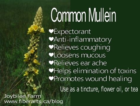 benefits of mullein picture 1