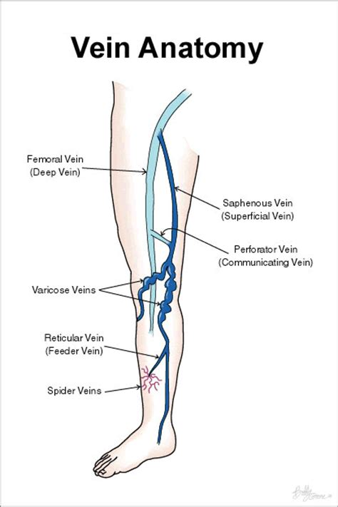 lower leg artery anatomy on web md picture 12