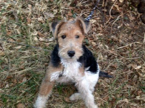 wire hair terrier picture 22