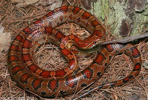 loss of appee in corn snakes picture 9