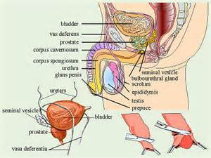 testosterone is secreted by ___ cells of the testis picture 14