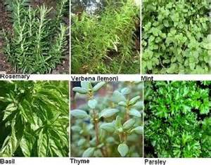example of herbal medicines in the philippines picture 5
