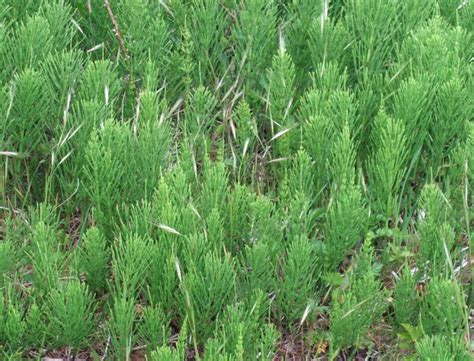 control horsetail picture 6