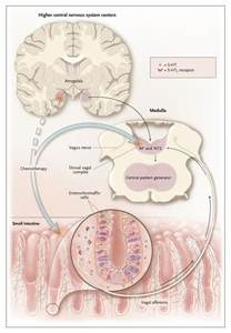 serotonin receptors in the intestines and liver picture 2