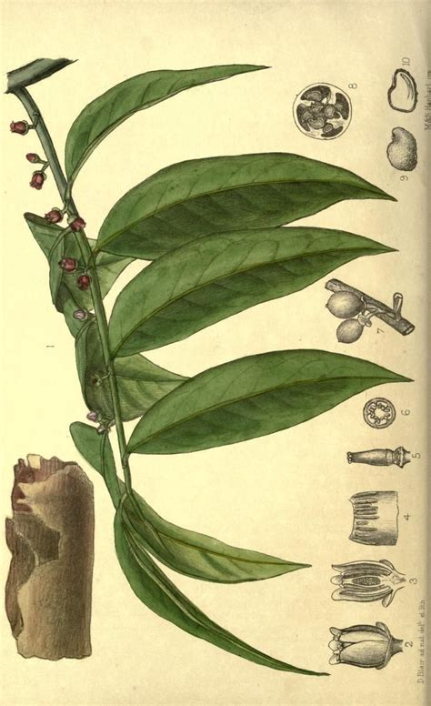 bello plant herbal picture 9