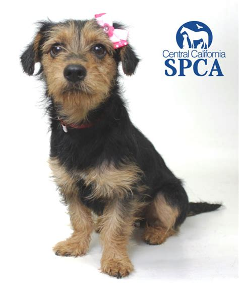 wire hair terrier rescue picture 5