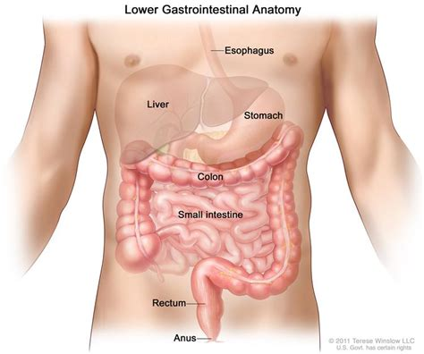 colon little knots in stomach picture 6