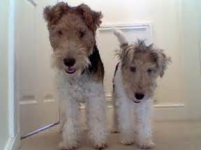 long haired foxterrier picture 2