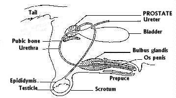 Canine prostate problems picture 6