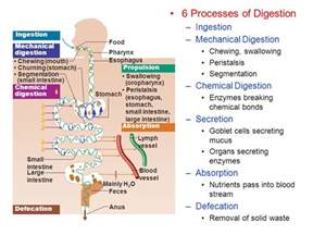 machancial digestion picture 13
