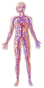 blood flow in humans picture 18
