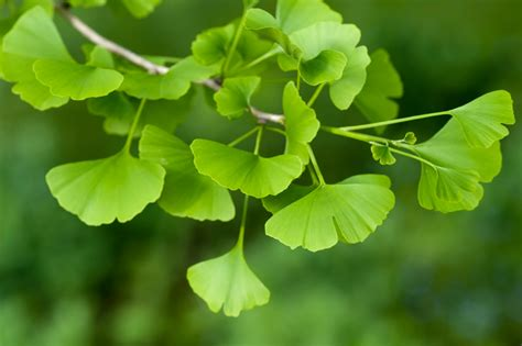 where are ginkgo biloba trees originally from picture 7