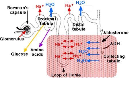 Blood pressure kidneys picture 5