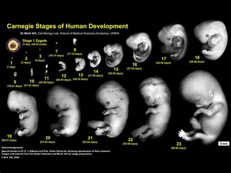 fetus weight gain in 3rd trimester picture 5