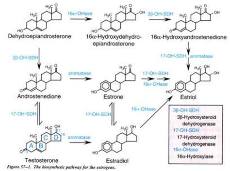 estragen and yeast picture 1