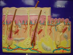 integumentary system skin model picture 15