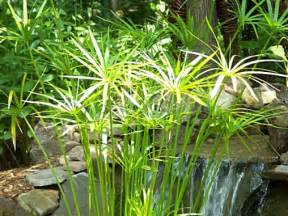 water plantain picture 18