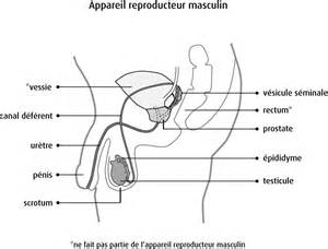 anatomy & physiology penis picture 14