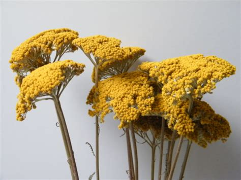 how to store dried yarrow picture 5