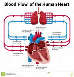 diagram of blood flow picture 12