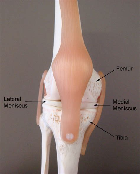 muscles around the knee joint picture 9