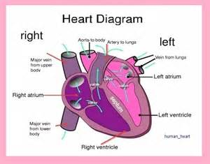 heart diagram picture 5