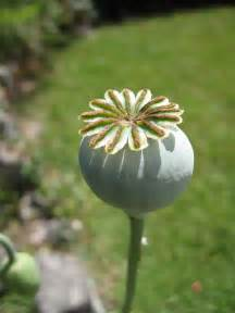 herbs like opium picture 7