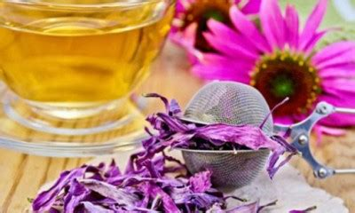 can pregnant women take echinacea picture 6