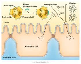 the end products of fat digestion picture 9