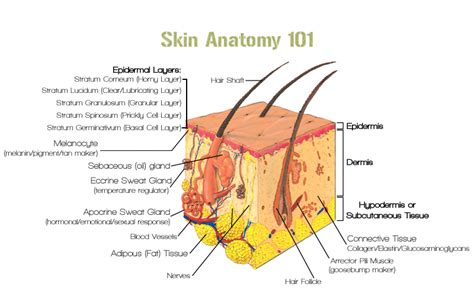 skin anatomy picture 13