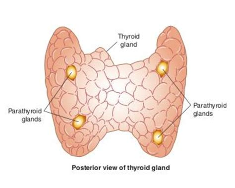 what does a small hterogeneous thyroid gland mean picture 6