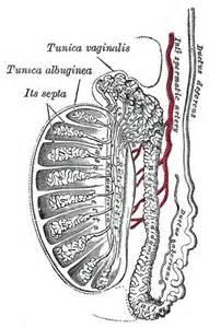 do female technician do scrotal ultrasound picture 12