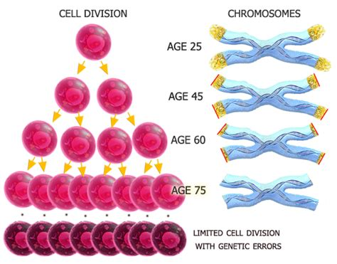 theory on aging of cells picture 5