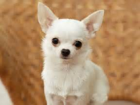 chihuahua h picture 3