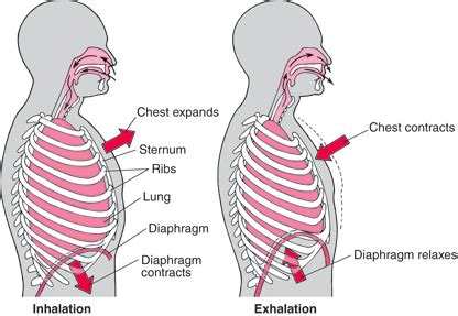 diaphram muscle for breathing picture 11