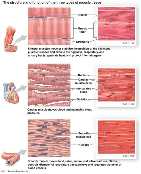 contraction in smooth muscle tissue picture 5